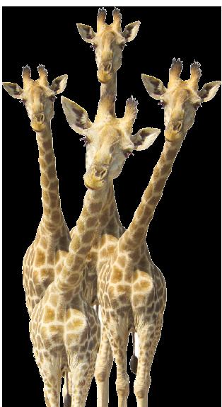 Contact us Giraffes